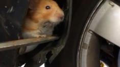 자동차 펜더에 갇힌 햄스터 구조(영상)