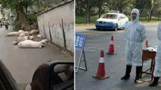 중국 '치사율 100%' 돼지열병 계속 창궐