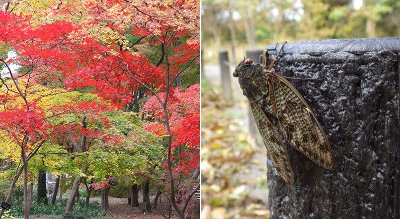 일본열도 '겨울 실종', 도쿄도내 공원서 매미부화
