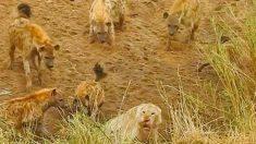 남아공 사바나 실제상황..하이에나 12마리에 둘러싸인 사자