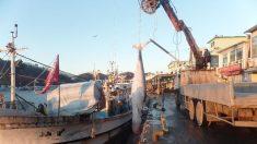 영덕 앞바다서 5.4m 밍크고래 혼획…430만원에 거래