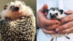 새로운 해피바이러스 '언제나 웃고있는' 고슴도치 사진들