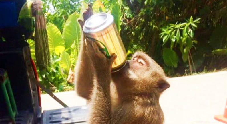 """술 마시고 담배 피는 원숭이들 """"원숭이 건강 걱정"""""""