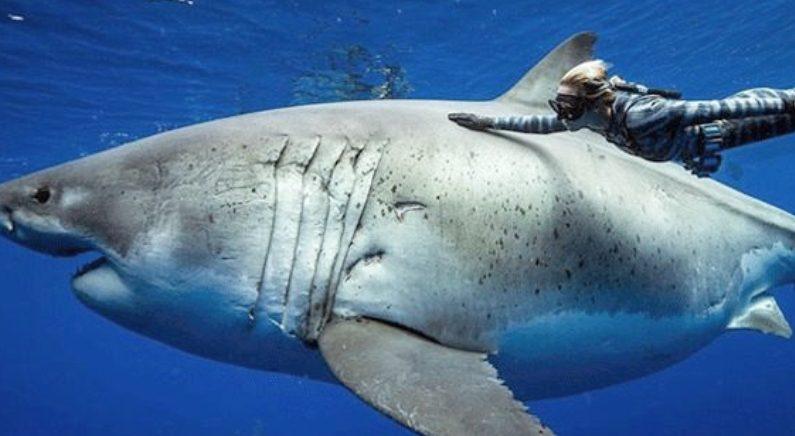 세계에서 가장 큰 상어 딥블루, 임신한 채 발견되다