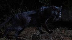 현실판 '블랙팬서', 무려 100년 만에 나타난 '흑표범'