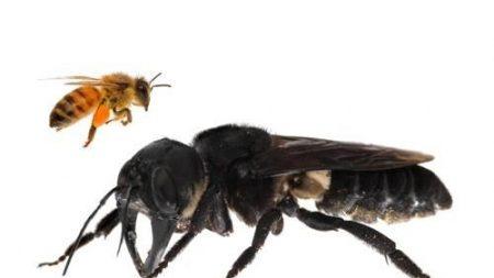 멸종된 줄 알았는데..'지구상 가장 큰 꿀벌' 38년만에 발견