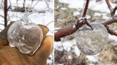 미국 중북부 미시간주 한 사과 농장의 '유령사과' 진풍경
