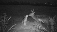 가출했다가 숲속에서 만난 사슴과 친구된 애완견 '허스키'