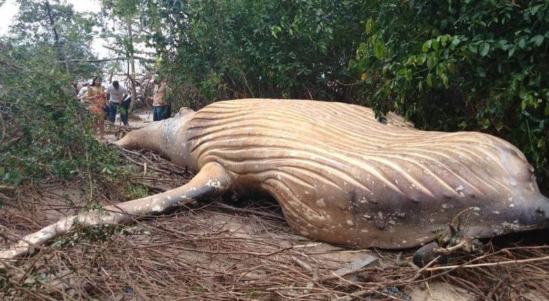 '아마존' 늪지에서 혹등고래 죽은 채 발견…전문가들 당황