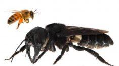 '살아 있었구나…!' 멸종된 지구상 가장 큰 꿀벌과 거북이 발견