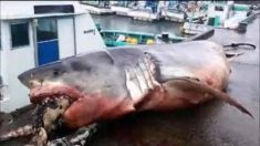 바다거북 삼키다가 질식사한 몸무게 2t 초대형 백상아리