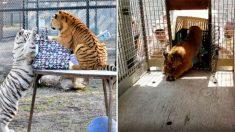 밀수입자가 던지고 도망간 덕분에 새 삶을 살게된 아기 호랑이