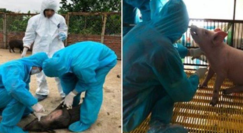 베트남에서 급속히 퍼지고 있는 돼지열병의 근원지가 '중국'으로 확인됐다