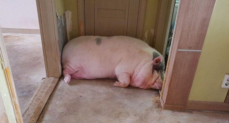 """""""몸무게 '300kg'까지 늘어 꼼짝도 못 하는 우리 돼지 좀 구해주세요"""""""
