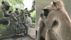 아기 로봇 원숭이가 쓰러지자 죽은 줄 알고 슬퍼하는 진짜 원숭이들