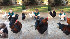 이발한 꼬마 주인 확인하고 품에 쏙 안기는 똑똑이 닭