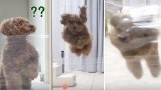 '넘사벽'에 의기소침해져 있다가 아빠 오자 투명벽 뚫은 '초사이언' 강아지 (영상)