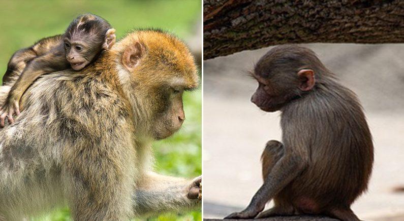 차에 치여 쓰러진 엄마 흔들며 깨우려다가 결국 흐느끼며 눈감은 아기 원숭이