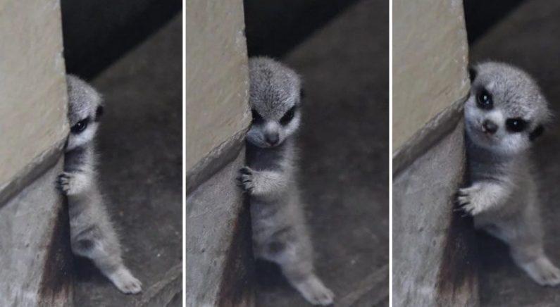 벽에 바짝 붙어 몸 반쪽만 내밀고 '망보기 연습' 중인 '새끼 미어캣'