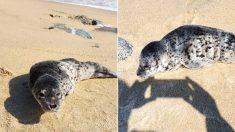 """""""아저씨 여긴 어디에요?"""" 강릉 바닷가에서 작고 마른 아기 물범이 나타났다"""