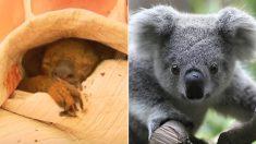 호주 산불로 화상 입었던 코알라들이 건강 회복해 자연으로 돌아간다