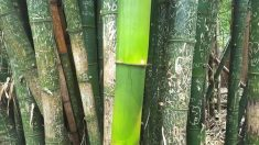 코로나 때문에 사람들 발길 끊긴 뒤에 자란 대나무의 '진짜 모습'