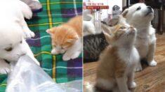 각자 엄마 잃고 보호소 와서 친구 먹은 아기 고양이와 아기 강아지가 같이 밥 기다리는 장면