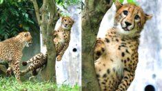 친구랑 놀다가 나무에 낀 치타의 '현실 표정'