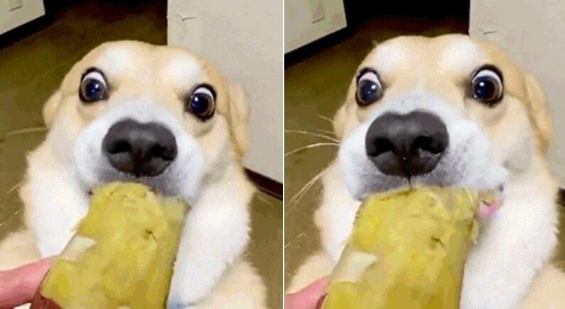 """""""우리집 강아지한테 고구마 줘봤는데요, 눈을 이상하게 떠요;;"""""""