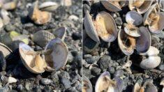49도 이상 폭염에 바닷가가 찜기로 변해 조개들이 쪄 죽었다