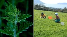 미국 공원에 정체불명의 식물이 퍼지기 시작했는데 '한국인'들이 모여들었다